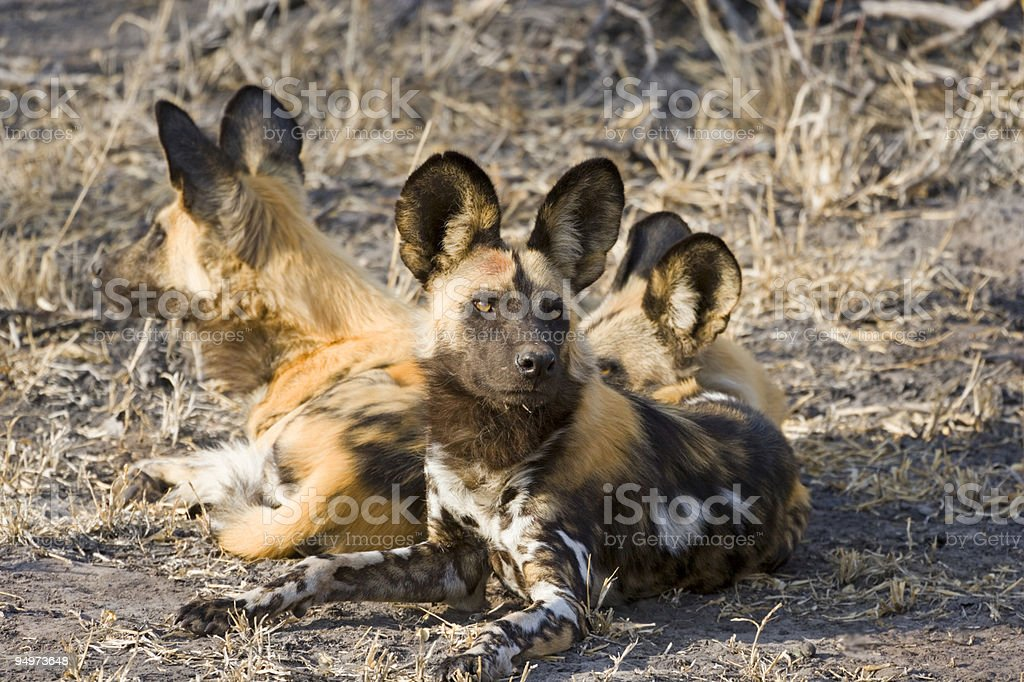 Wild Dog Group stock photo