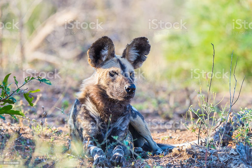 Wild Dog or Lycaon lying down in the bush, Africa stock photo