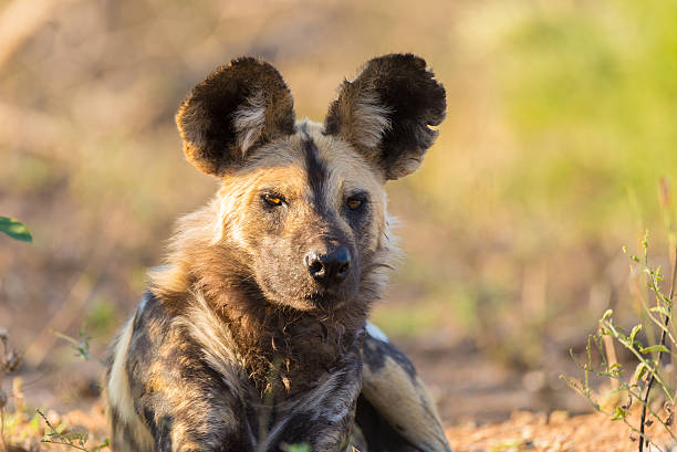 wild dog or lycaon lying down in the bush, africa - cão selvagem imagens e fotografias de stock
