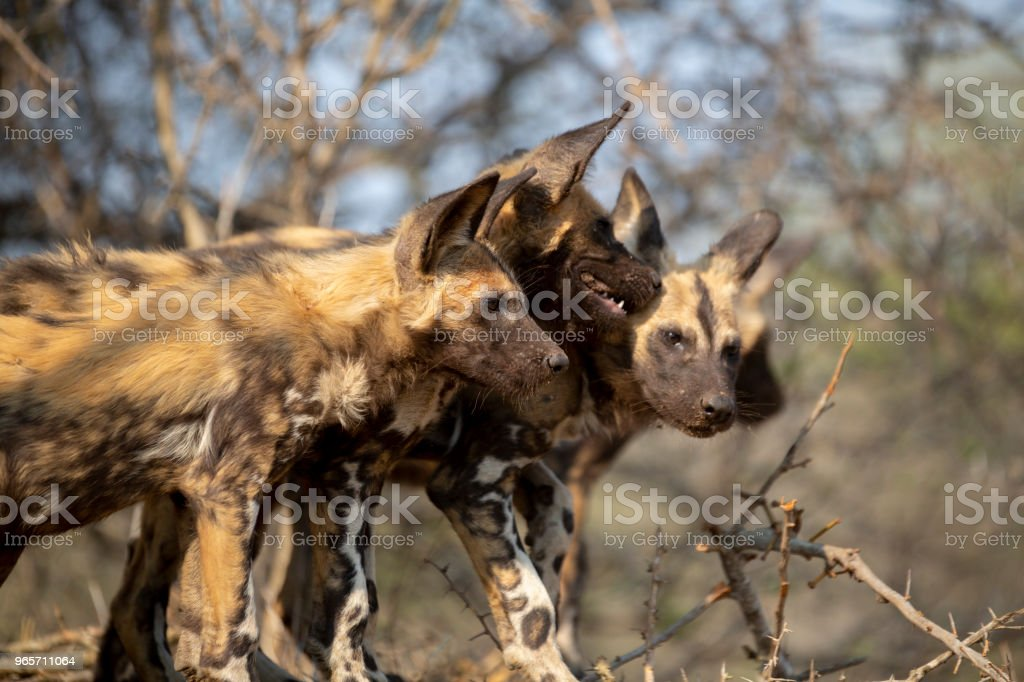 Wild Dog Puppies stock photo