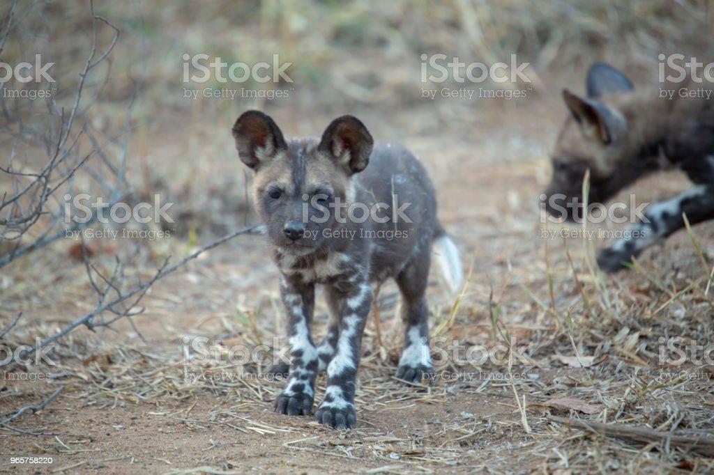 Wilde hond-puppies - Royalty-free Afrikaanse wilde hond Stockfoto