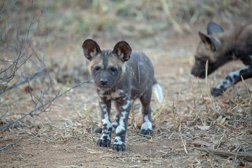 Wilde Hondpuppies Stockfoto en meer beelden van Afrikaanse wilde hond