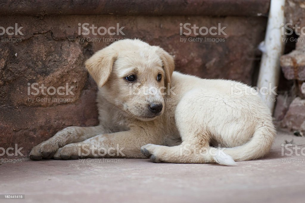 Wild dog puppy royalty-free stock photo