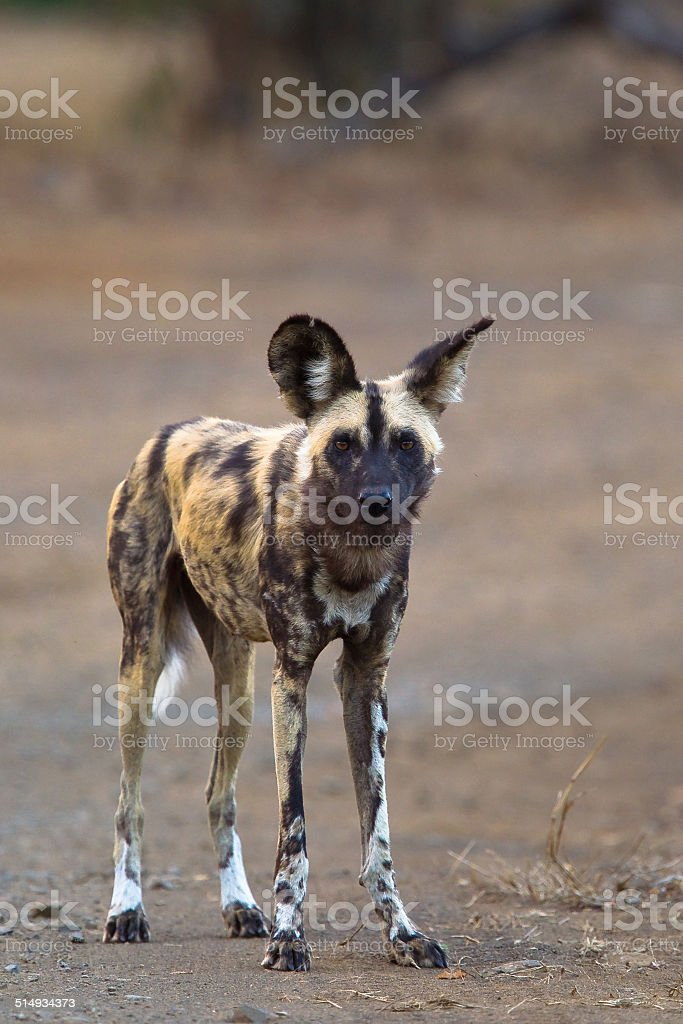 Wild Dog standing, looking at the camera stock photo