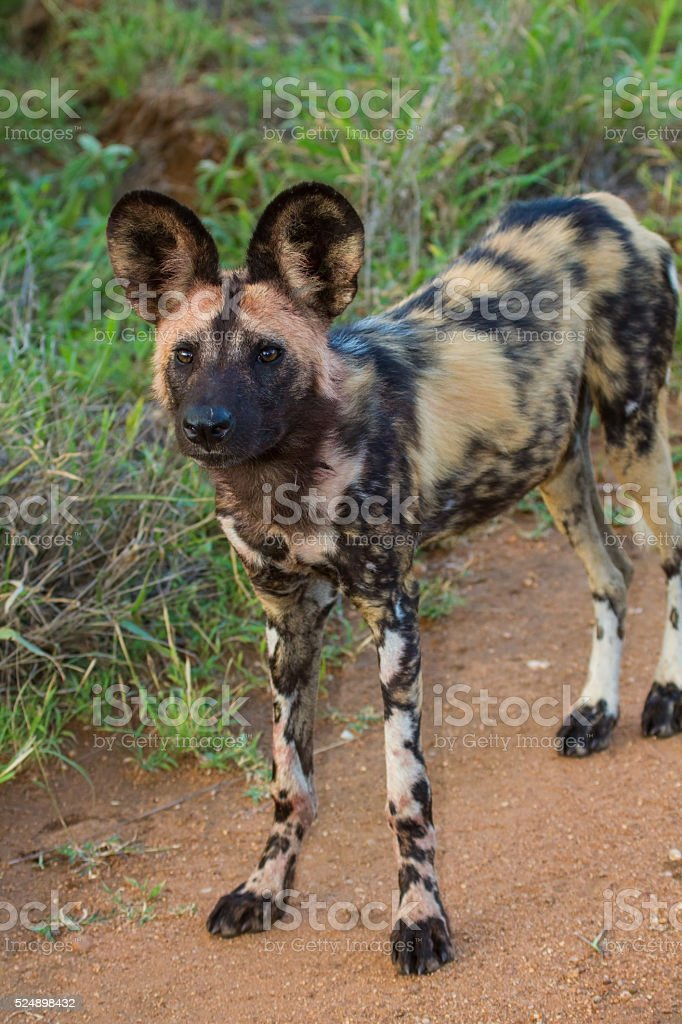 Wild dog standing looking for prey stock photo