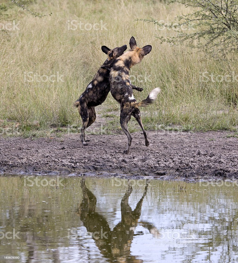 Wild Dogs at play stock photo
