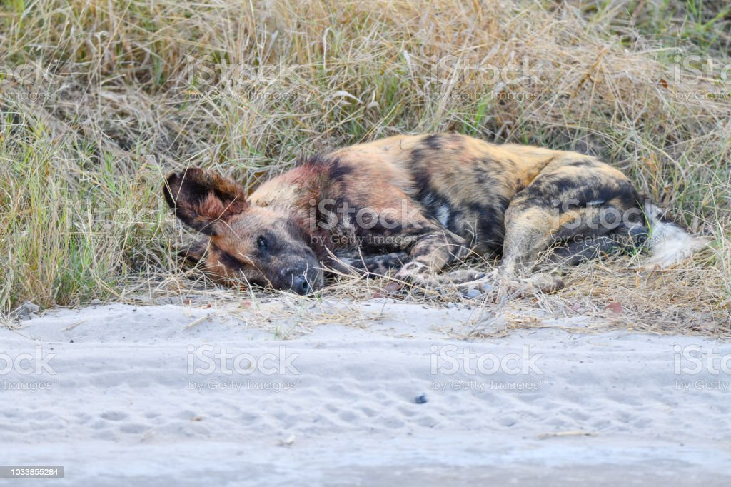 Wilde Hunde Botswana – Foto