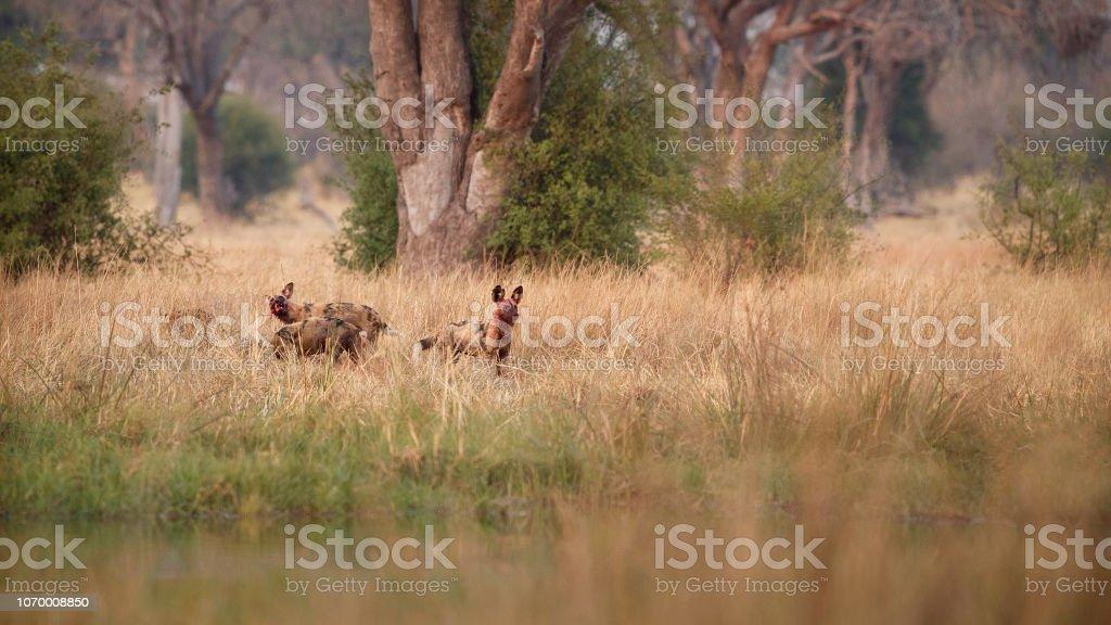 Wild Dogs hunting desperate impalas in Botswana. stock photo