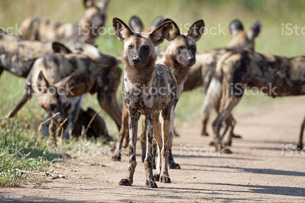 Wild Dogs in Kruger National Park stock photo