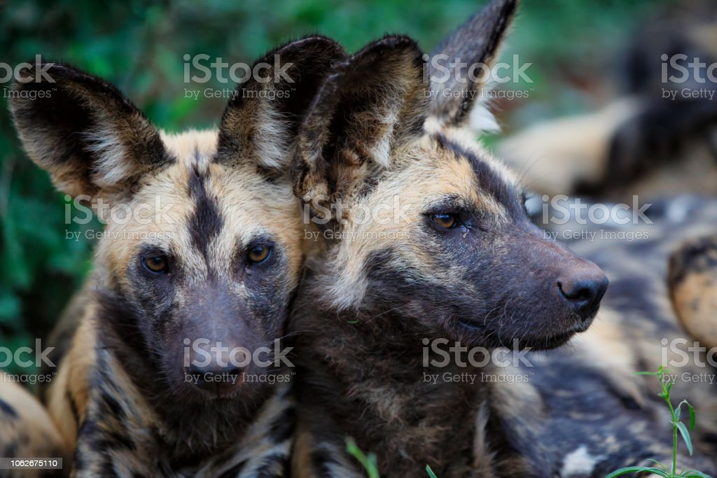 Wild dogs portrait in South Africa stock photo
