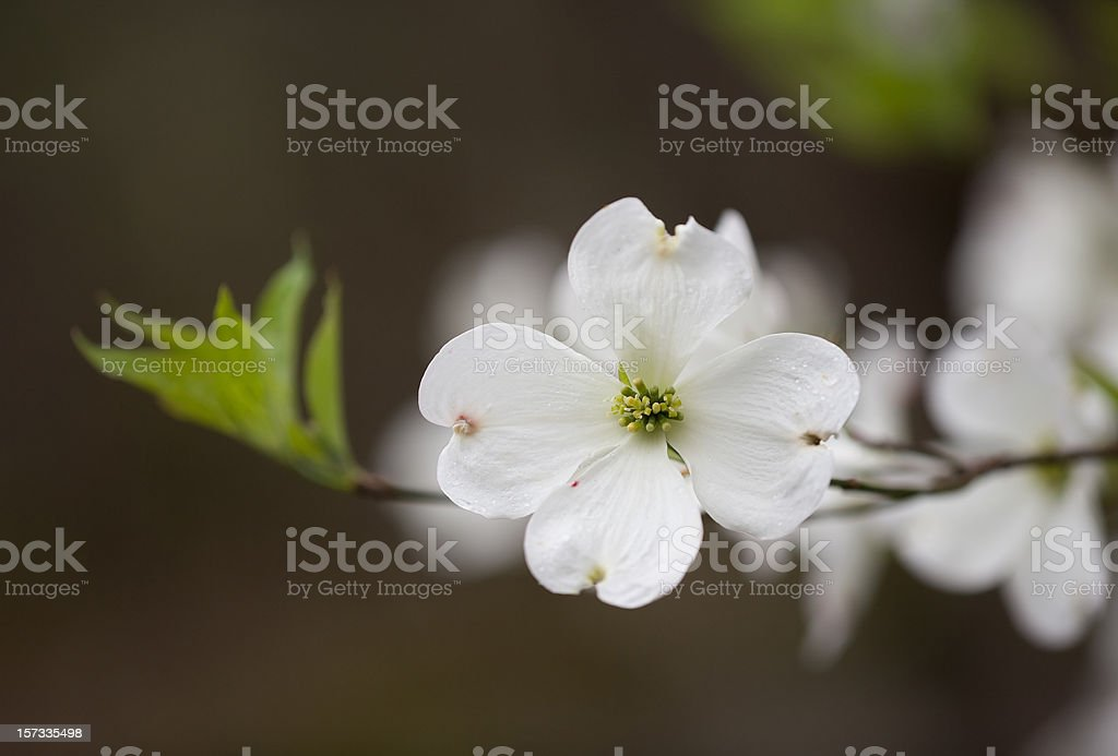 Wild Dogwood blossom in the Smoky Mountains stock photo