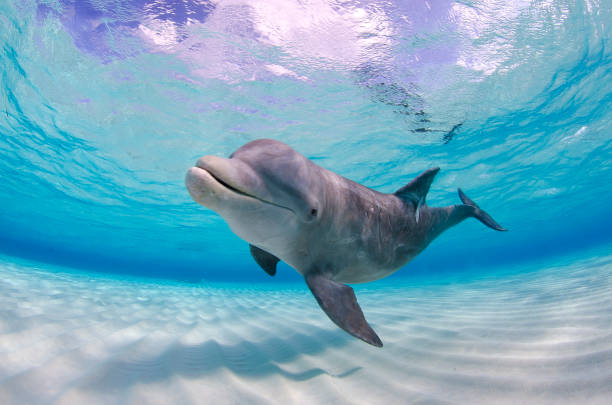 Wild dolphin swimming in shallow water towards the camera in Grand Cayman, Cayman Islands Lone dolphin at Stingray City shallow stock pictures, royalty-free photos & images