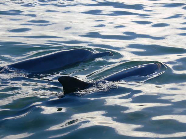Wild dolphins at Shark Bay in Western Australia stock photo