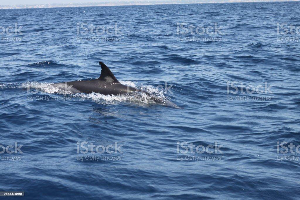 Dauphins sauvages dans l'océan - Photo