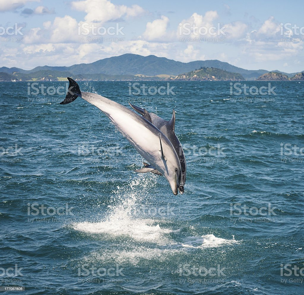 Wild Dolphins Playing stock photo