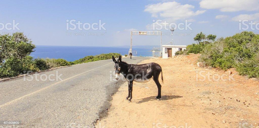 Wild donkey. Karpasia. Northern Cyprus photo libre de droits