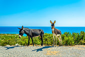 Wild donkeys are waiting at the entrance of Karpaz national park for tourists who give them something to eat, Cyprus