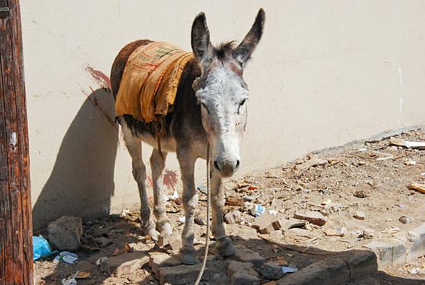Wild donkeys -Equus asinus-, Sultanate of Oman, Middle East - foto de acervo
