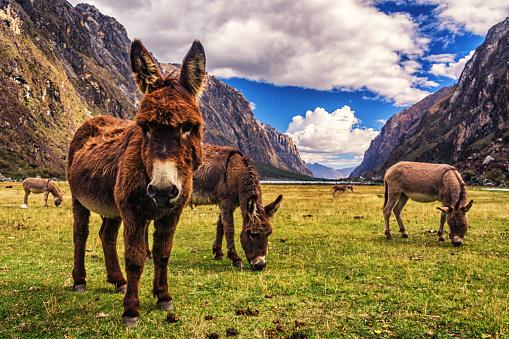Wild Donkeys in Huascaran National Park