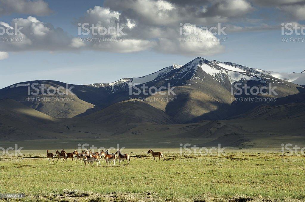 wild donkeys royalty-free stock photo