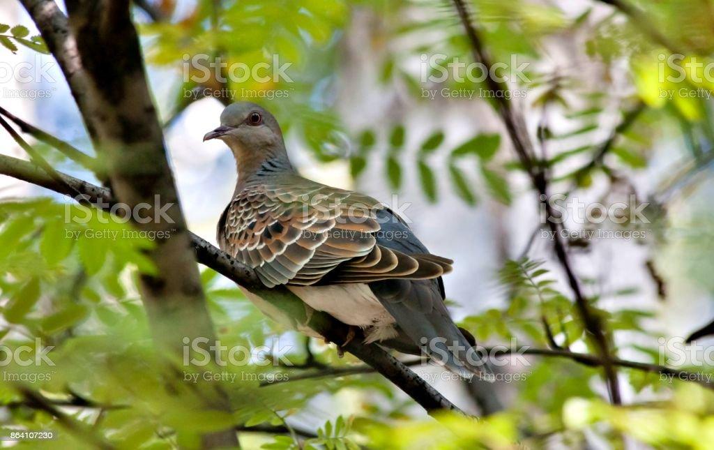 wild dove, rare and cautious bird with the Latin name Streptopelia royalty-free stock photo
