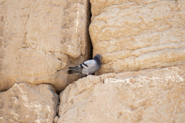 Wild dove sits in the stones of the wall of the temple of mount near picture id1176328843?b=1&k=6&m=1176328843&s=612x612&w=0&h=xzsgddm9fekef3oztkcmzb3lgxxnkq ygmdwxspgtry=