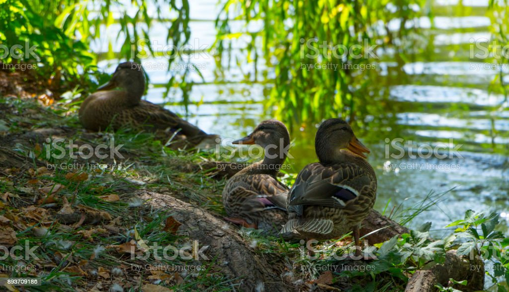 Wild duck floating on the river, on a warm summer day stock photo