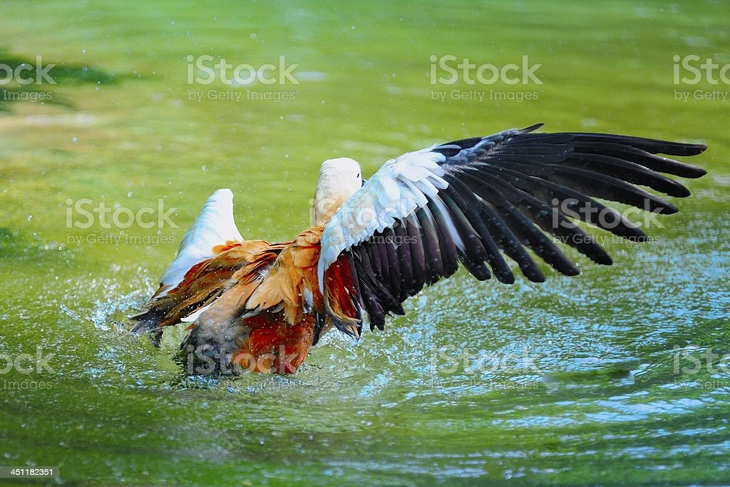wild duck is ready to get off stock photo