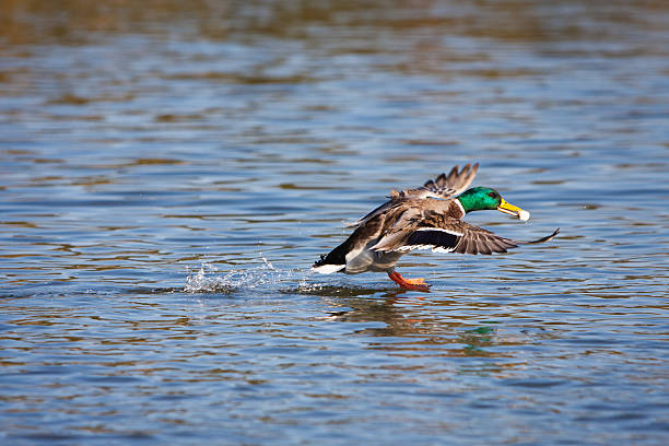 Wild duck landing at the river stock photo