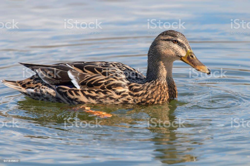 Wild Duck Mallard Anas Platyrhynchos Female Duck Stock Photo & More ...