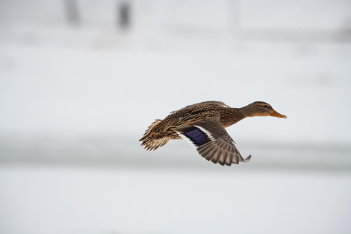 istock Wild duck mallard white snow winter fly 1096401260