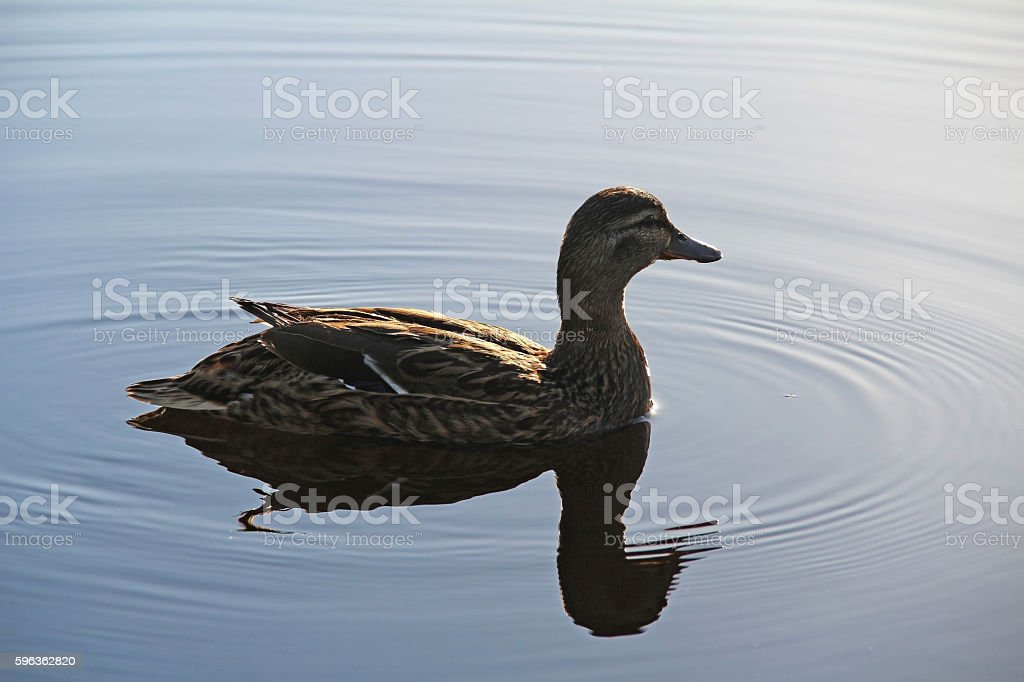Wild duck on a pond on a summer evening. royalty-free stock photo