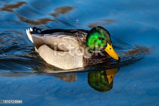 istock Wild duck or mallard, Anas platyrhynchos swimming in a lake 1310124594