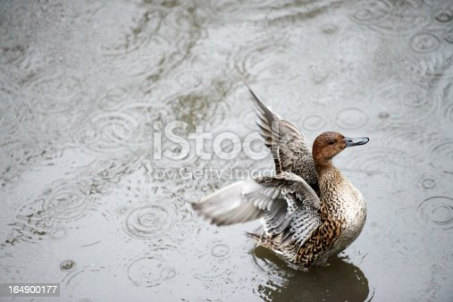 Female white duck (Anas platyrhynchos) while flapping its wings.