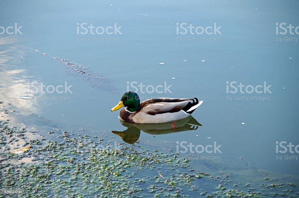 Wild Duck royalty-free stock photo