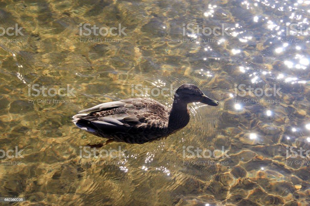 Wild duck foto de stock libre de derechos