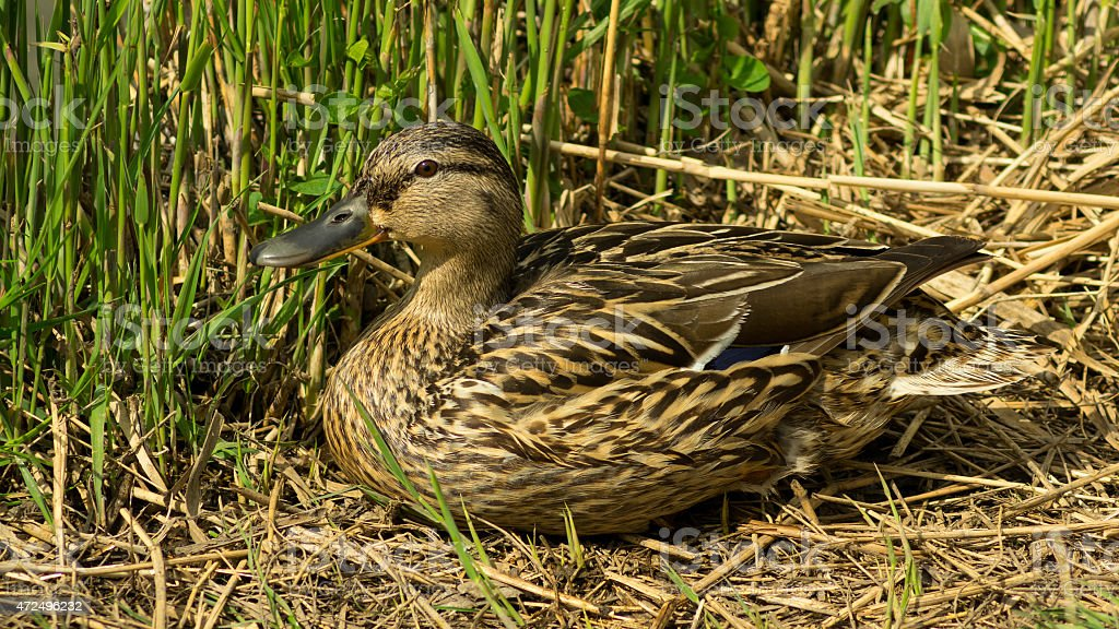 Wild duck sitting in the grass observing the others stock photo