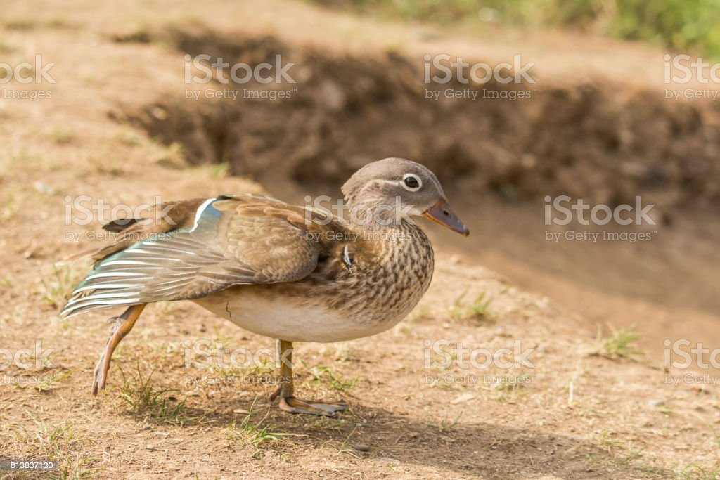 Wild duck with wings spread out stock photo