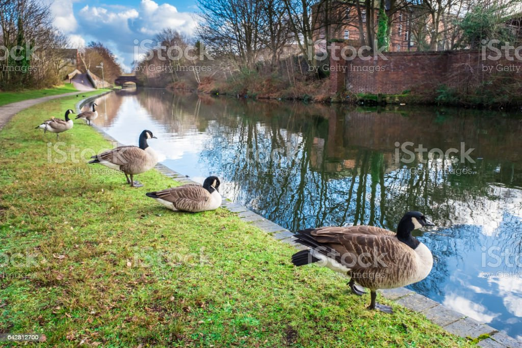 Wild Ducks at Birmingham Canal stock photo