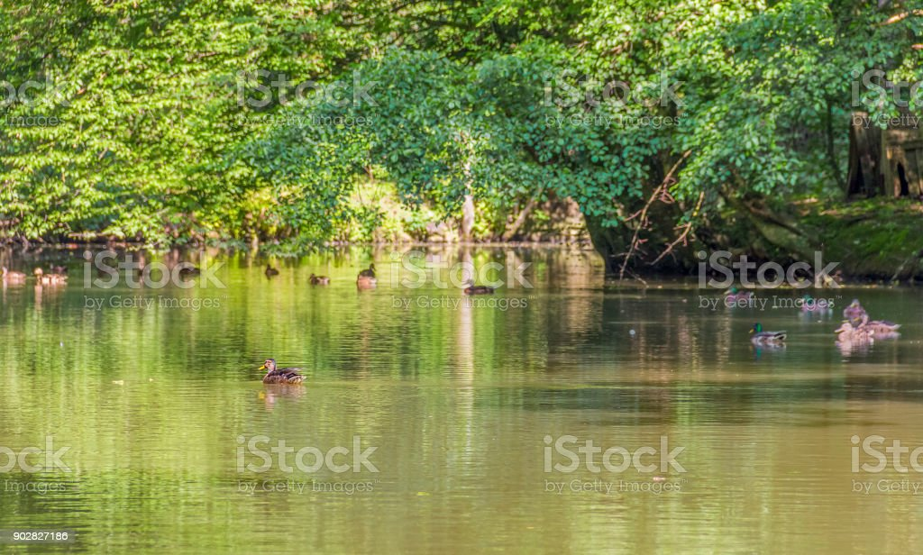 Wild ducks in a idyllic pond stock photo
