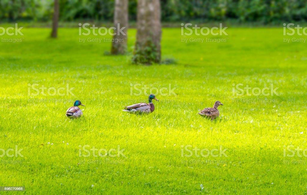 Wild ducks in idyllic park scenery stock photo