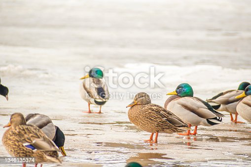 istock Wild ducks on ice in Vilnius, Lithuania 1346135374