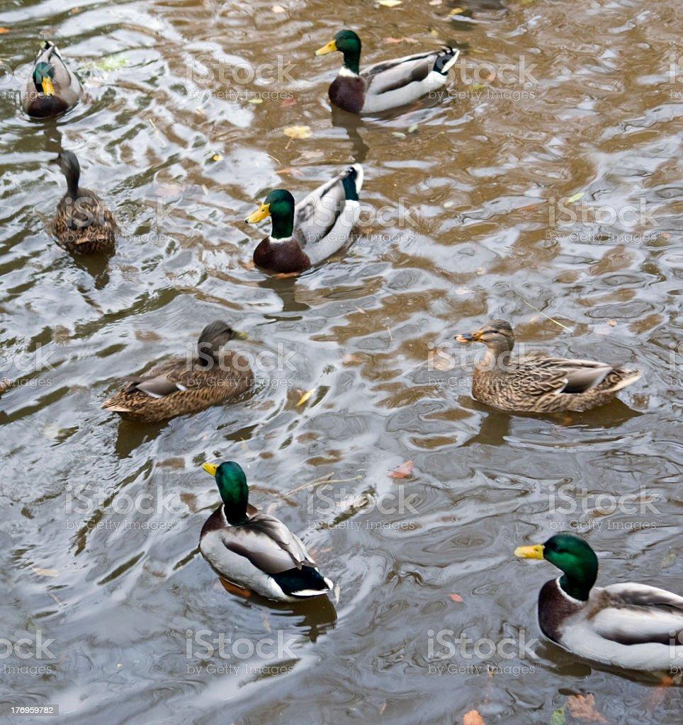 wild ducks royalty-free stock photo