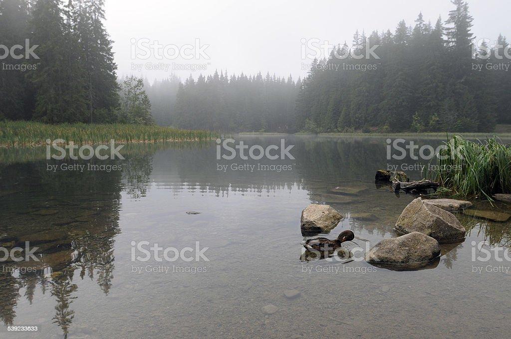 Wild ducks foto de stock libre de derechos