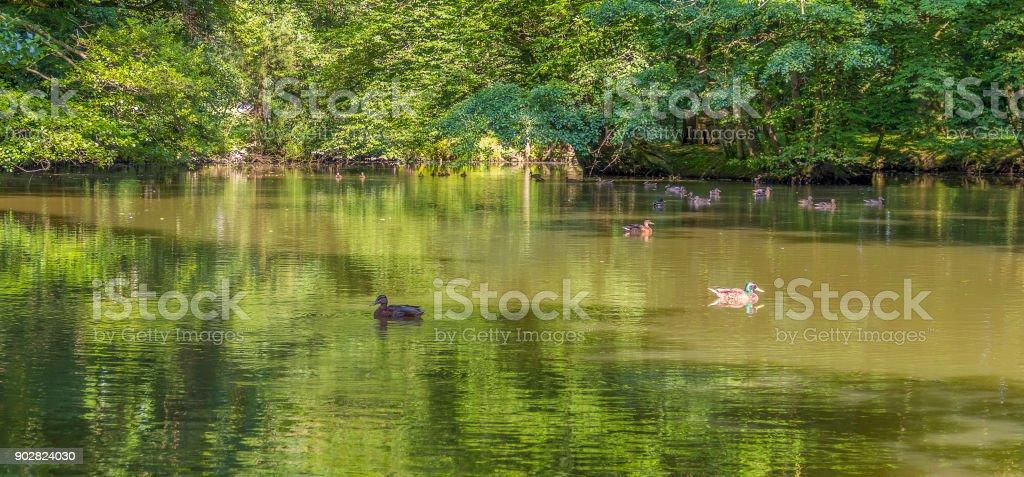 Wild ducks swimming in a pond stock photo