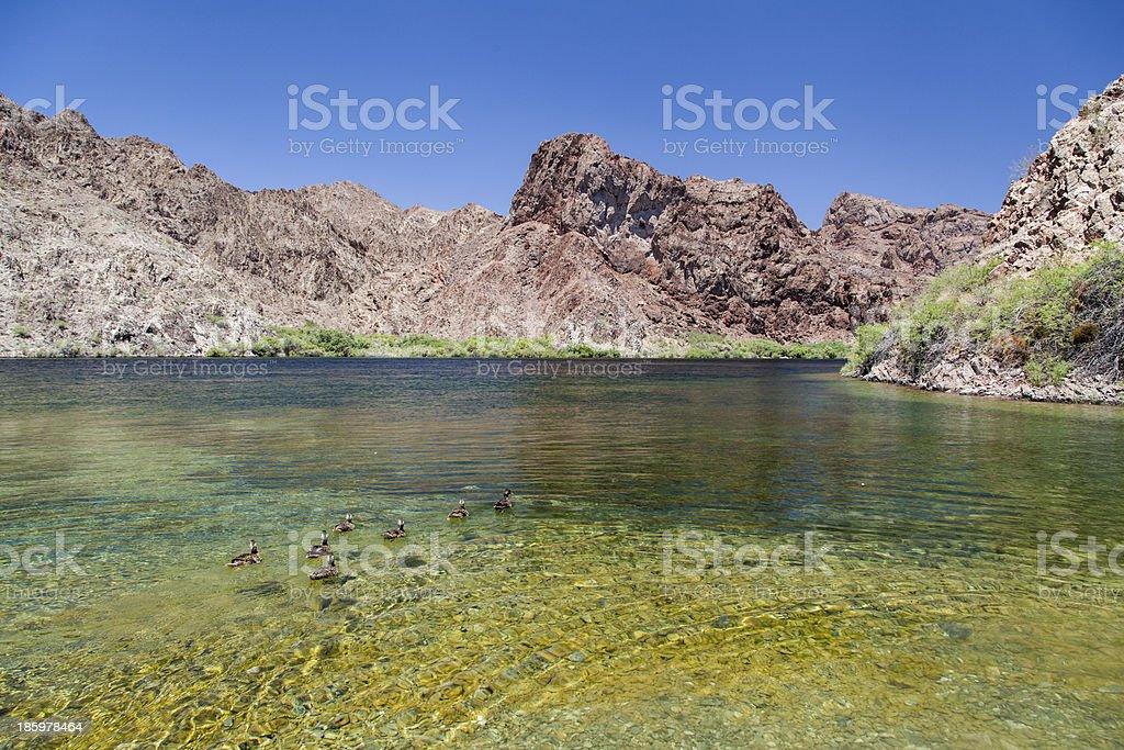 wild ducks swimming in lake Mead, Arizona royalty-free stock photo