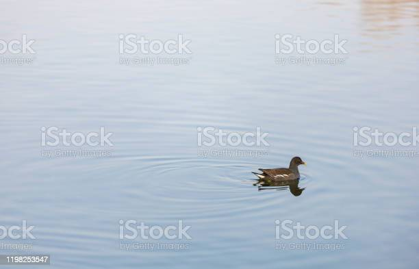 Photo of Wild ducks swimming