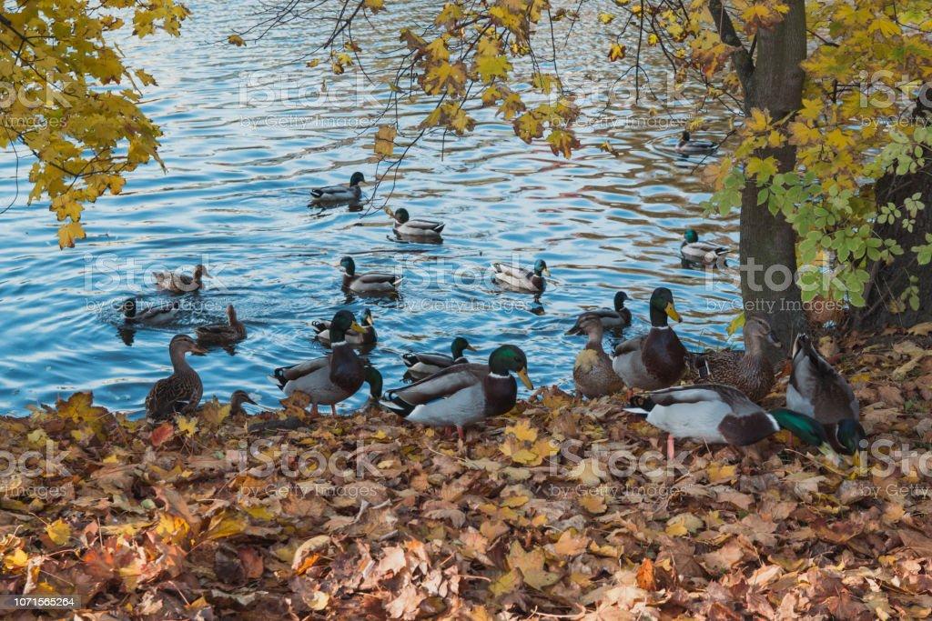 Wild Ducks Walk Near The River