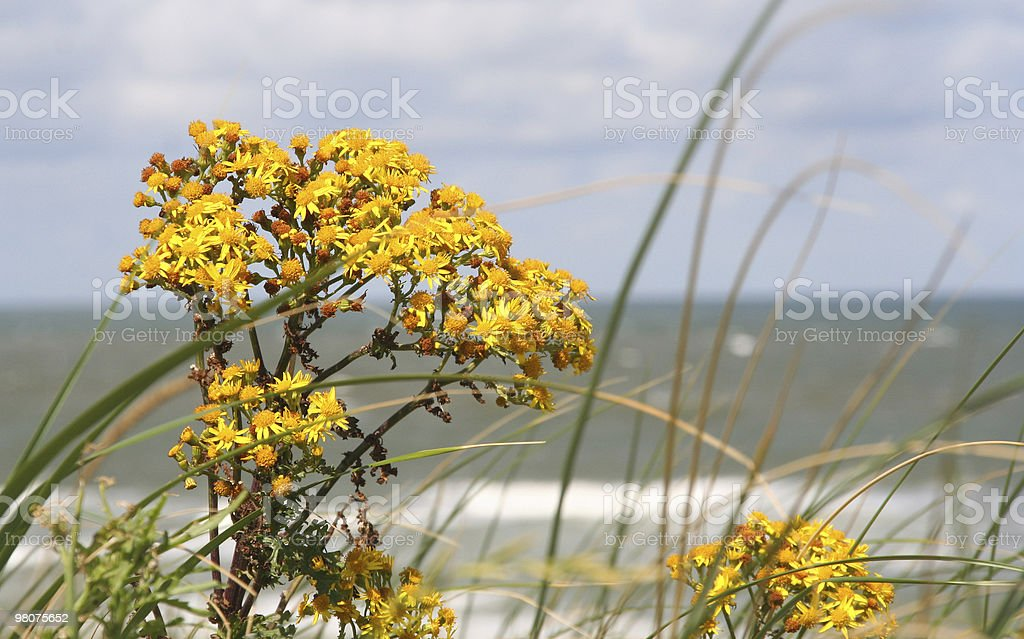 Wild Dune Flowers royalty-free stock photo