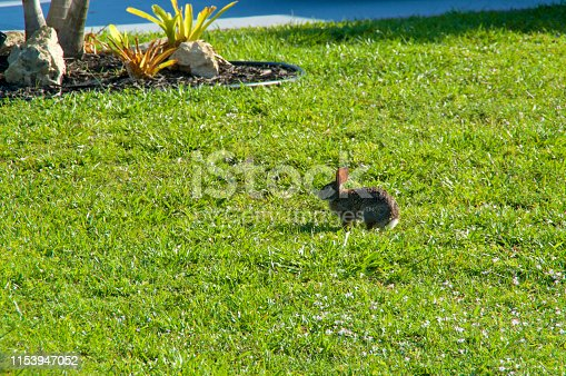 A young Eastern Cottontail Rabbit is standing at attention in profile on green grass lawn in southwest florida in morning.